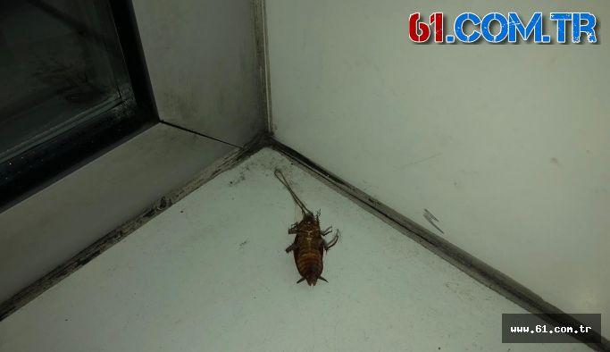 Kakalak böceği istilası