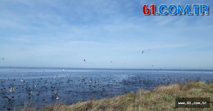 Yüzlerce martı, sürü halinde göç eden balık sürüsüne hücum etti