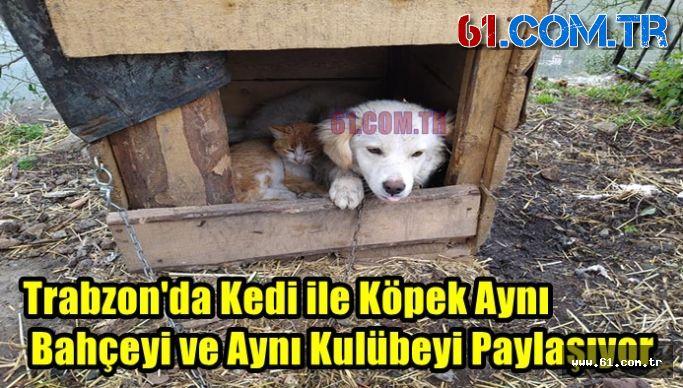 Trabzon'da Kedi ile Köpek Aynı Bahçeyi ve Aynı Kulübeyi Paylaşıyor
