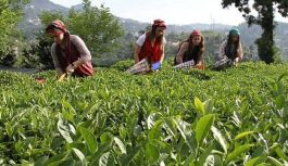 Çay üreticisi zor durumda bırakıldı!