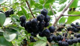 Vakfıkebir'de Kuzey Amerika Aronya Bahçesi Kurulacak